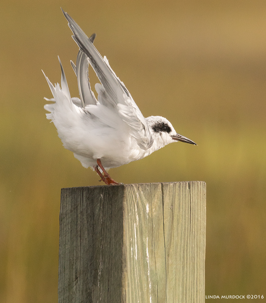 Forster's Tern doing a big stretch Sony A77II with Sony f/4 500 G + 1.4 TC; 1/2000 sec f/7.1 ISO 640; from truck window