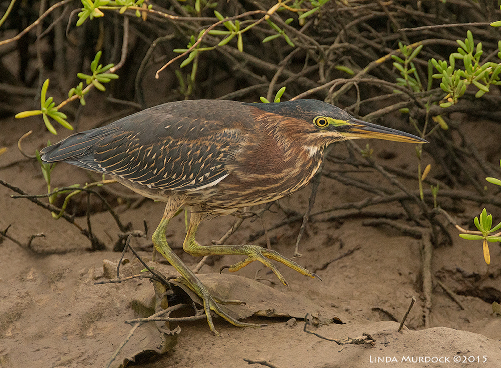 Green Heron moving along the mud bank in overcast light Sony A77II with Sony f/4 500 G + 1.4 TC; 1/1000 sec f/6.3 ISO 1250; tripod