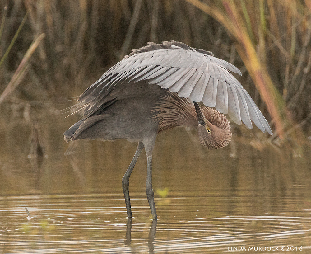 Reddish Egret preening in overcast light Sony A77II with Sony f/4 500 G + 1.4 TC; 1/1600 sec f/6.3 ISO 1250; tripod