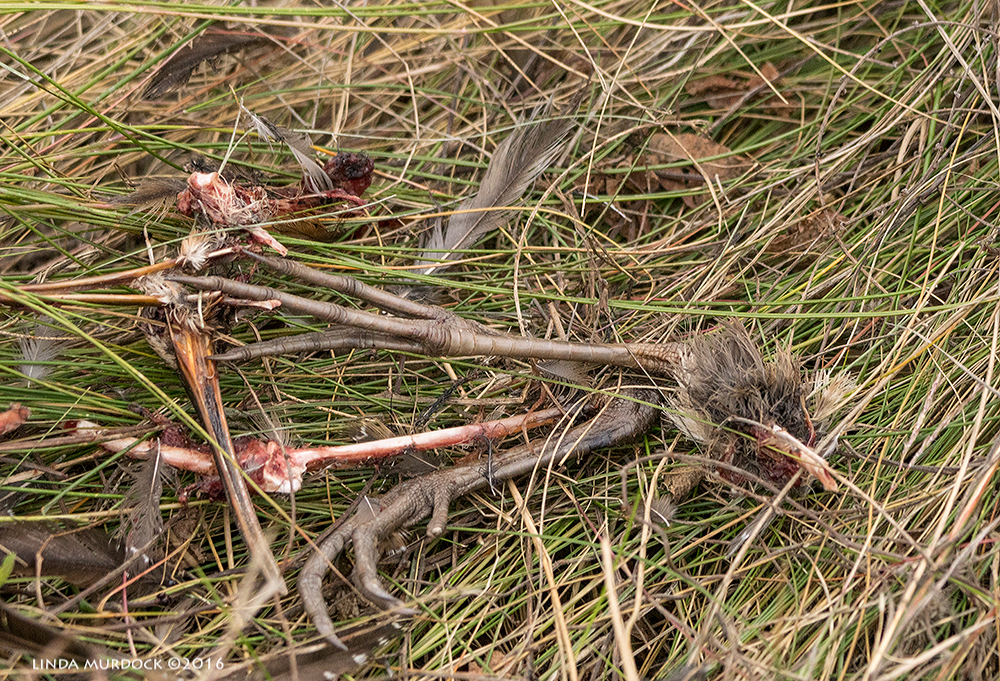 Crime Scene - this was a Clapper Rail