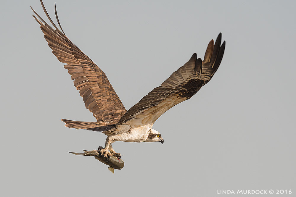 Osprey with big fish (click to embiggen) Nikon D810 with Nikkor 600mm f/4 FL ED+ Nikon 1.4x TC ~  1/2000 sec f/7.1 ISO 640