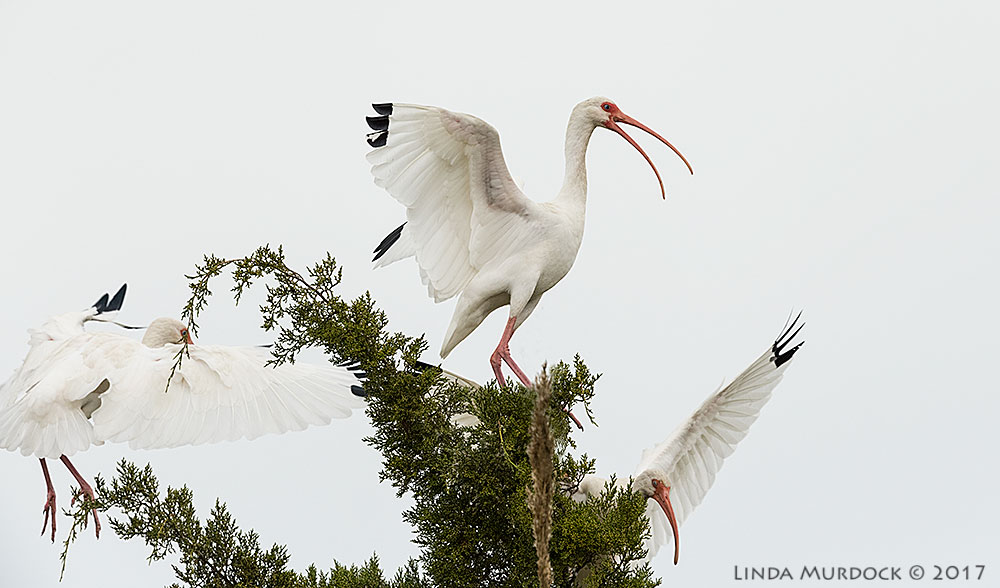 More White Ibis action Nikon D810 with NIKKOR 500mm f/4E FL ED VR + Nikon 1.4x TC ~ 1/2500 sec f/6.3 ISO 1600