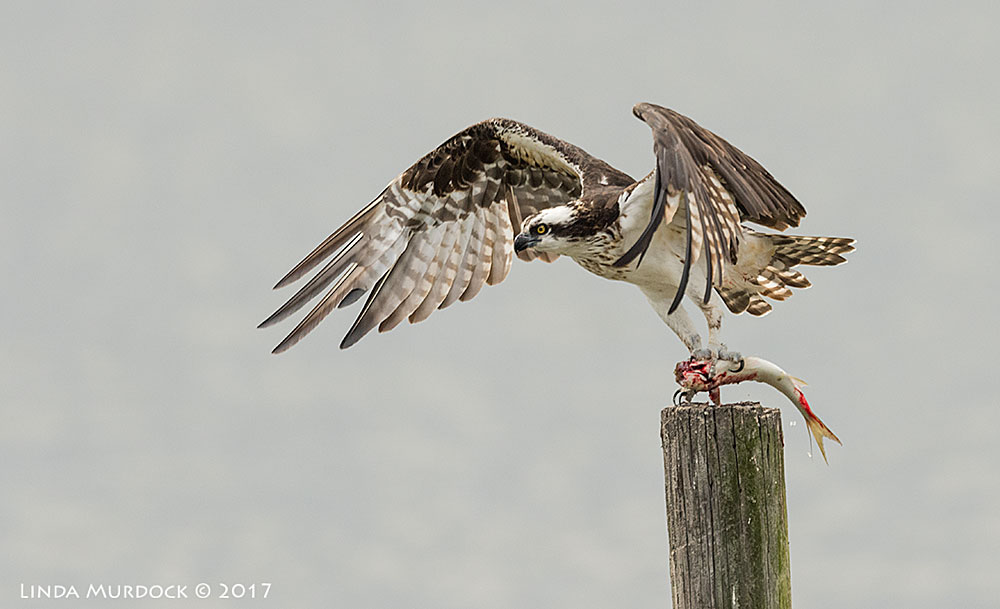 Osprey with really bloody fish Nikon D810 with NIKKOR 500mm f/4E FL ED VR + Nikon 1.4x TC ~ 1/2000 secf/6.3 ISO 800