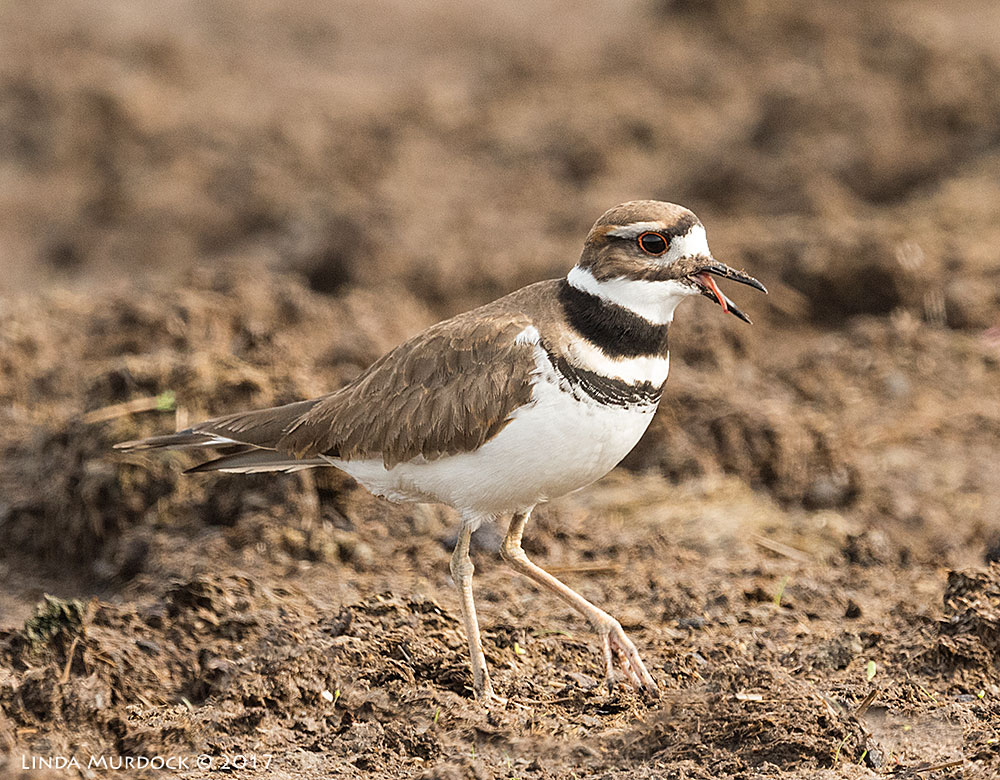 Killdeer with last of tasty worm Nikon D810 with NIKKOR 500mm f/4E FL ED VR + Nikon 1.4x TC ~ 1/1250   sec f/7.1 ISO 1000