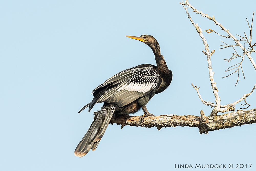 Anhinga enjoying the sunshine   Nikon D810 with NIKKOR 500mm f/4E VR + Nikon 1.4x TC ~ 1/1600   sec f/6.3 ISO 1600