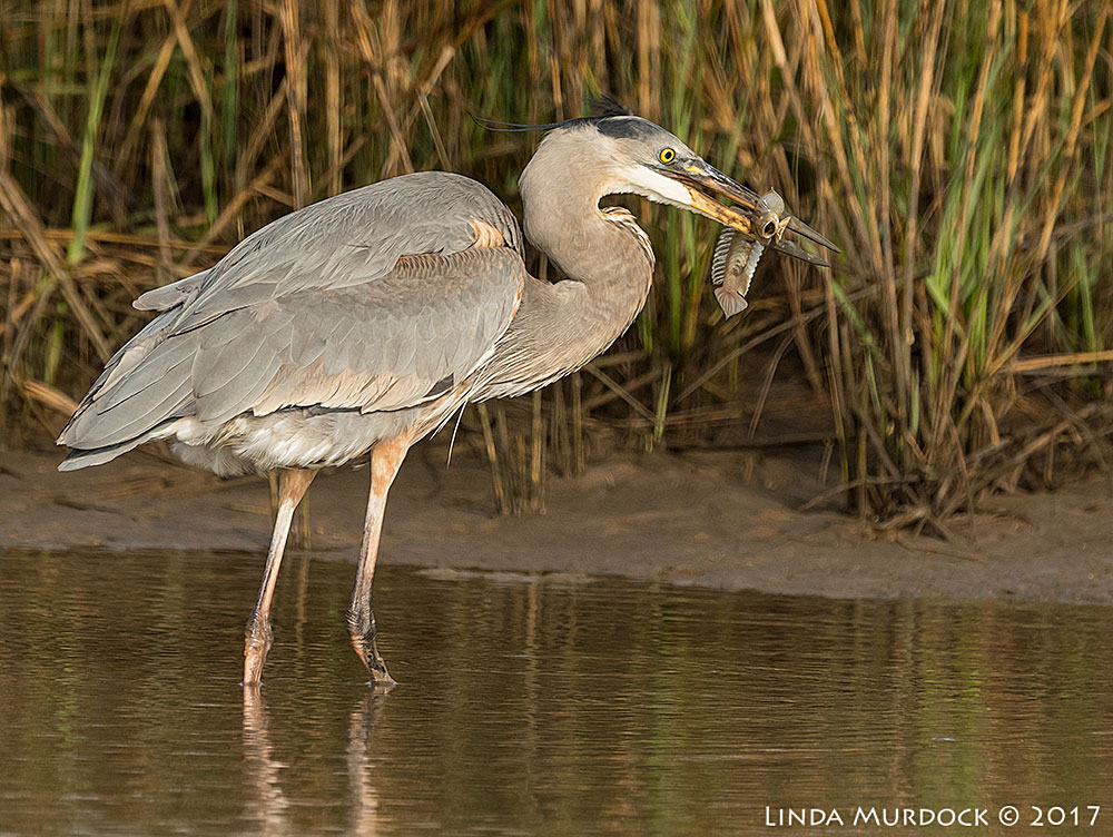 Great Blue Heron with a great fish Nikon D810 with NIKKOR 500mm f/4E VR + Nikon 1.4x TC ~ 1/2000   sec f/8.0 ISO 1000