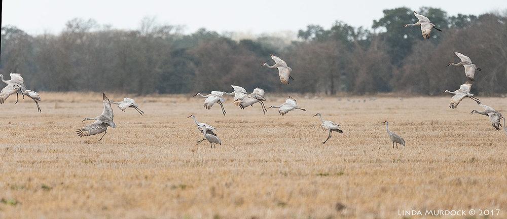 Stalking Elusive Sandhill Crane From >> Stalking The Sandhill Cranes Linda Murdock Photography