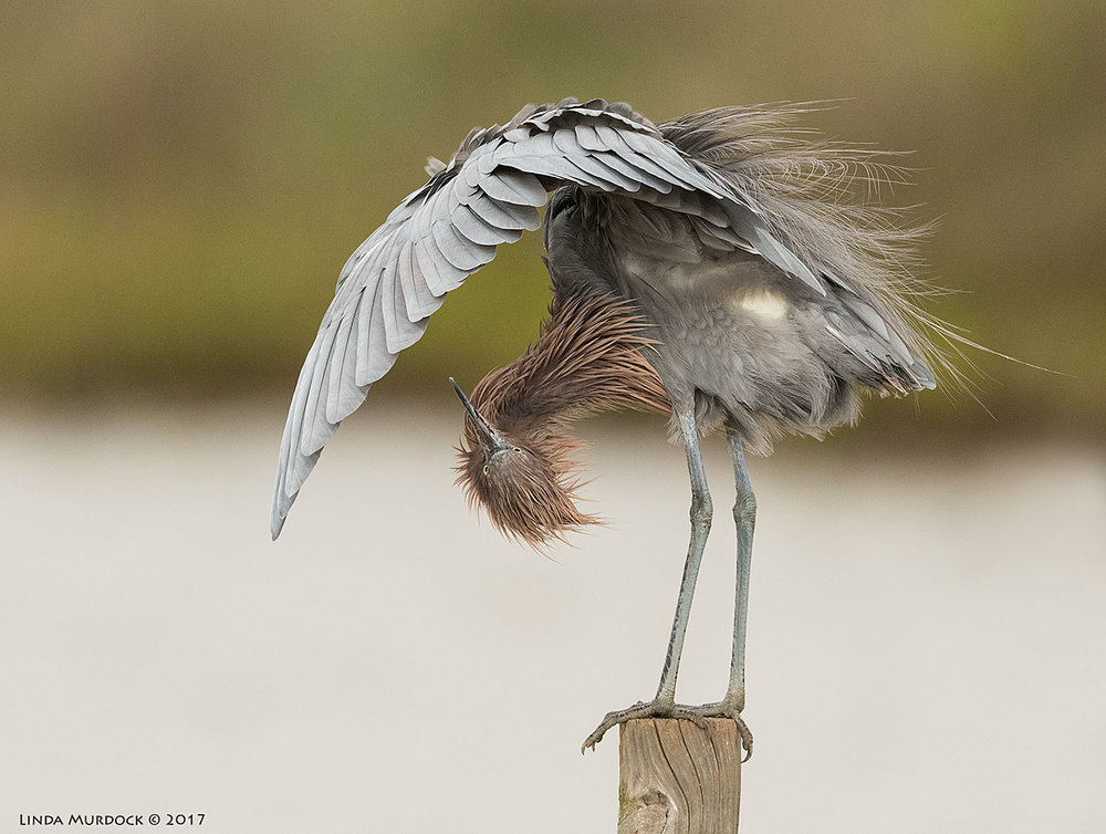 Reddish Egret in a cool pose Nikon D810 with NIKKOR 500mm f/4E VR + Nikon 1.4x TC ~ 1/2000 sec f/7.1 ISO 1000