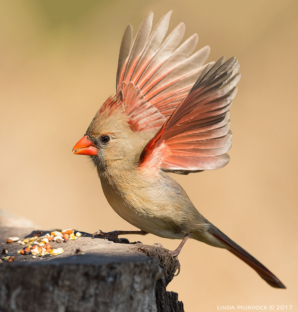 Female Northern Cardinal showing off Nikon D810 with NIKKOR 500mm f/4E VR + Nikon 1.4x TC ~ 1/2000 sec f/7.1 ISO 2000; tripod