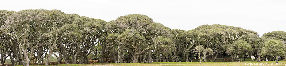 Live Oak trees facing the bay; Great Blue Herons nesting on top Panorama shot stitched together with Photoshop