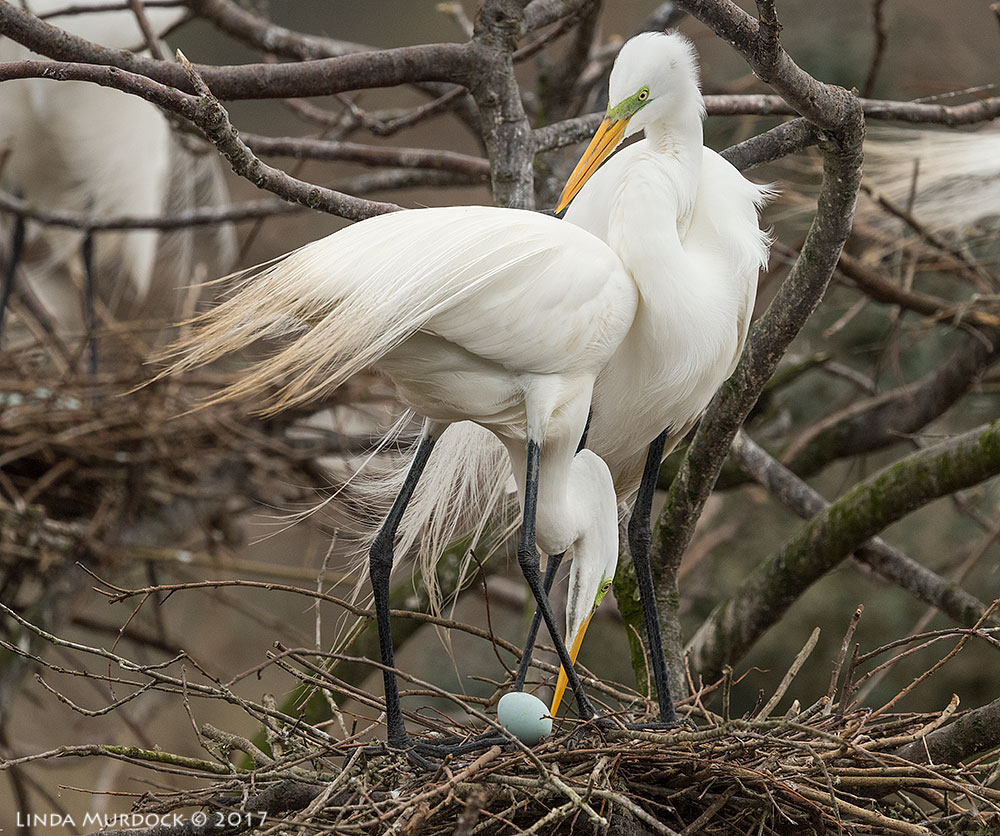 Perhaps new parents; they had lost one egg and seemed awkward and inexperienced Nikon D810 with NIKKOR 500mm f/4E VR + Nikon 1.4x TC ~ 1/2500 sec f/6.3 ISO 800; tripod
