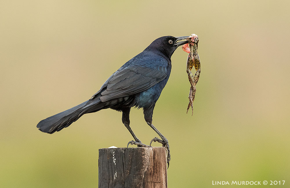 Grackle dining on frog legs Nikon D810 with NIKKOR 500mm f/4E VR + Nikon 1.4x TC ~ 1/1000 sec f/7.1 ISO 1250; braced on truck window with bean bag