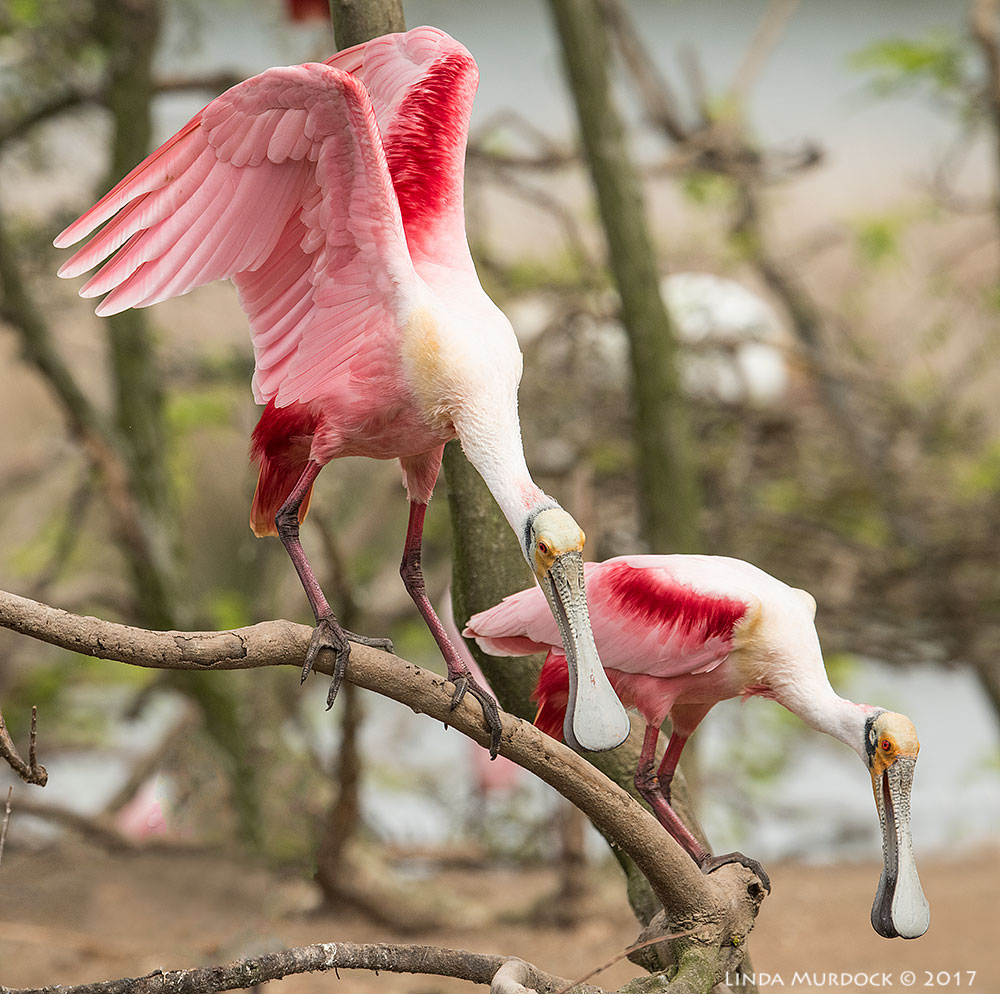Singular Spoonbills starting to bob and dip to attract a mate Nikon D810 with NIKKOR 500mm f/4E VR + Nikon 1.4x TC ~ 1/2000 sec f/7.1 ISO 1600; tripod