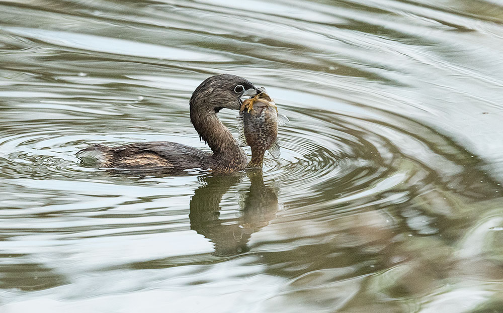 Pied-billed Grebe with sunfish in the waters at Smith Oaks Rookery Nikon D810 with NIKKOR 500mm f/4E VR + Nikon 1.4x TC ~ 1/1600 sec f/6.3 ISO 2000; tripod