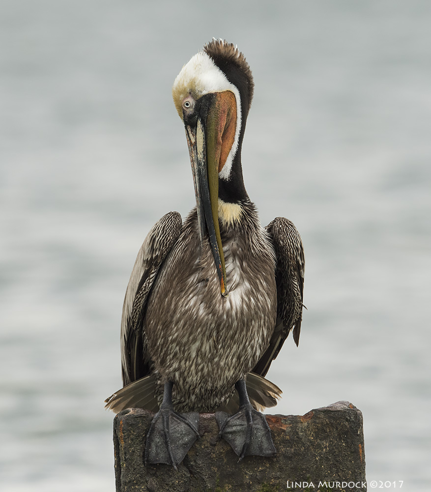 Breeding adult Brown Pelican with red pouch. Nikon D810 with NIKKOR 500mm f/4E VR + Nikon 1.4x TC ~ 1/2000   sec f/8.0 ISO 800; tripod