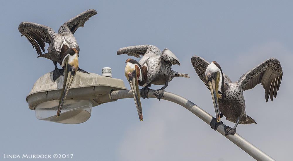 Pelican cousins   Sony A77II with Sony 70-400 G2 ~ 1/2000 sec f/7.1 ISO 640