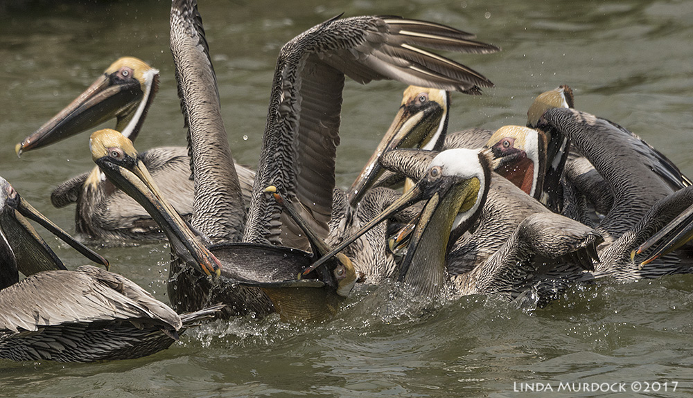 Brown Pelican Party Sony A77II with Sony 70-400 G2 ~ 1/2000 sec f/7.1 ISO 1000