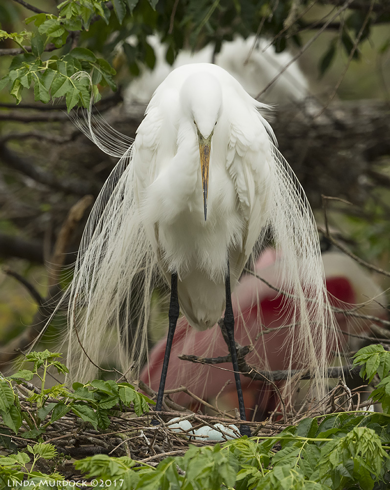 Great Egret with eggs Nikon D810 with NIKKOR 500mm f/4E VR + Nikon 1.4x TC ~ 1/2000   sec f/7.1 ISO 1000; tripod