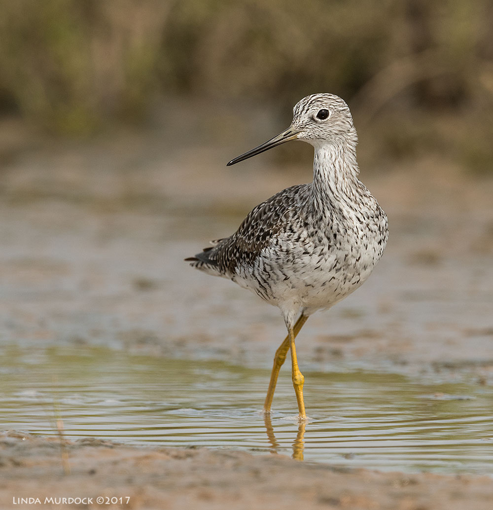 Greater Yellowlegs posing  Nikon D810 with NIKKOR 500mm f/4E VR + Nikon 1.4x TC ~ 1/2500   sec f/7.1 ISO 500; tripod