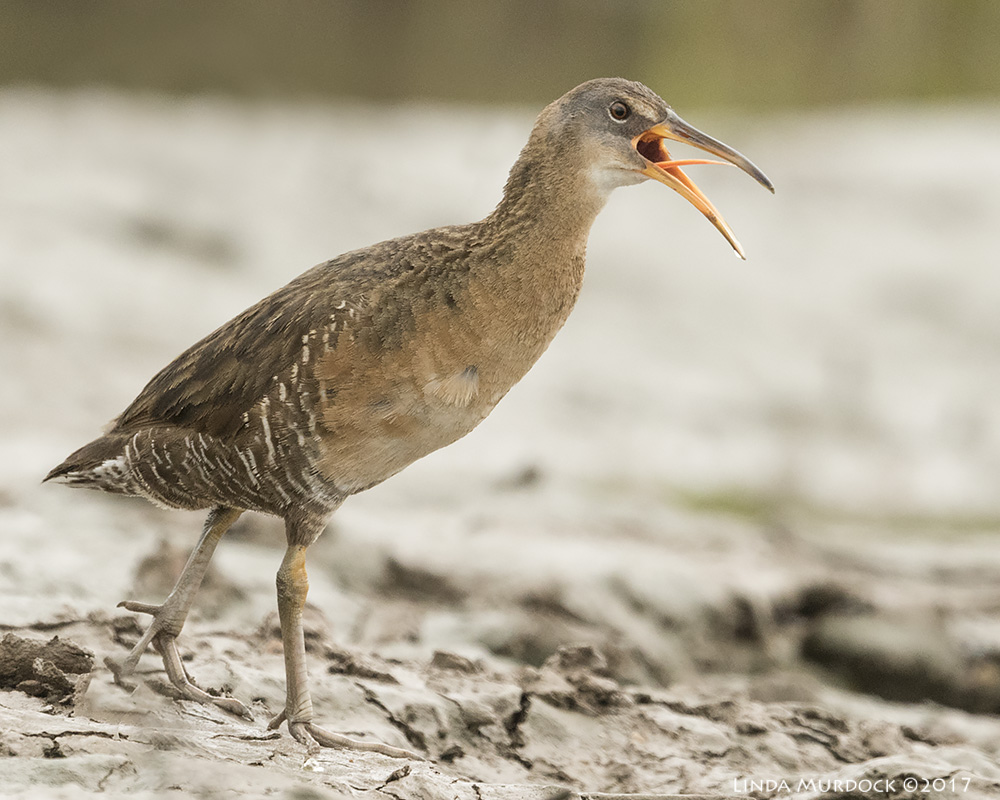 Clapper Rail with tongue action    Nikon D810 with NIKKOR 500mm f/4E VR + Nikon 1.4x TC ~ 1/2000   sec f/6.3 ISO 1600; tripod