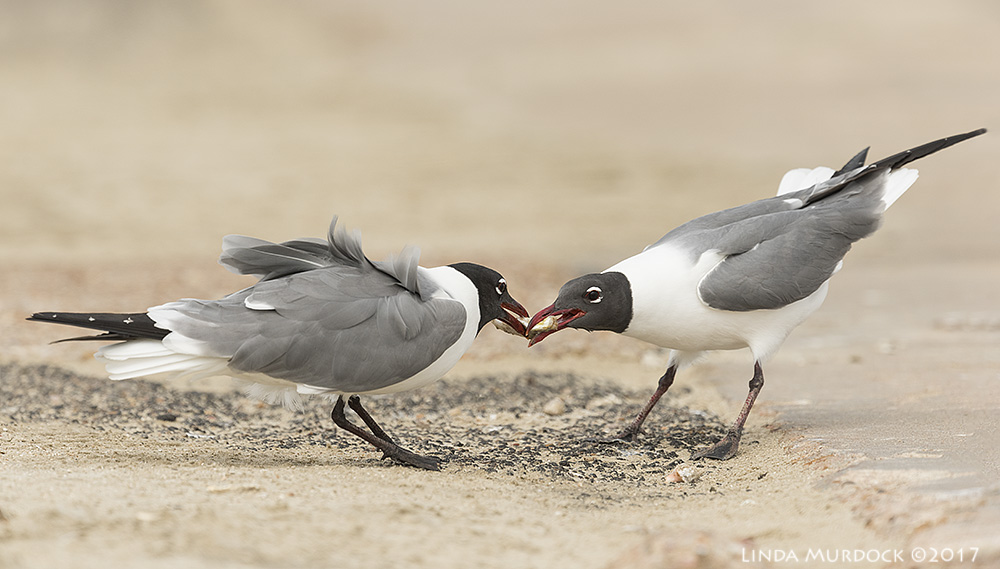 Laughing Gull tug-of-war Nikon D810 with NIKKOR 500mm f/4E VR + Nikon 1.4x TC ~ 1/2000   sec f/7.1 ISO 500; tripod