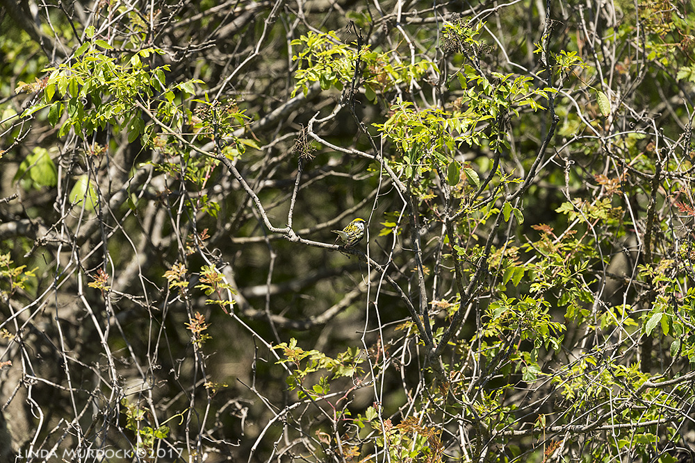 Tiny warbler in the bush - what Spring Migration REALLY looks like    Nikon D810 with NIKKOR 500mm f/4E VR + Nikon 1.4x TC ~ 1/2000   sec f/6.3 ISO 640; from vehicle window
