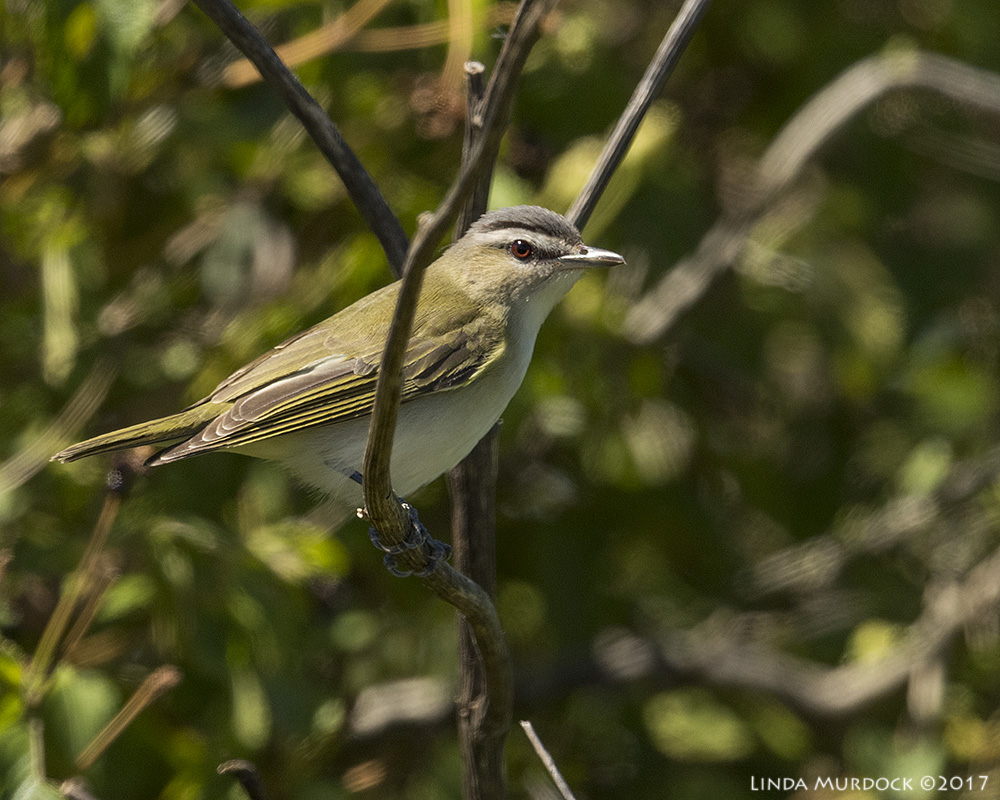 Red-eyed Vireo giving me the eye Nikon D810 with NIKKOR 500mm f/4E VR + Nikon 1.4x TC ~ 1/2500   sec f/6.3 ISO 500; tripod