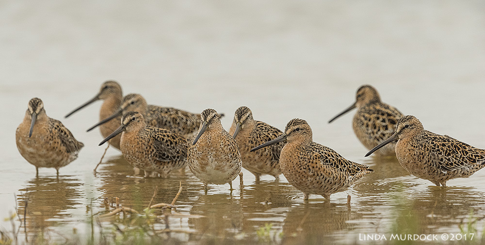 Short-billed Dowitchers in breeding colors Nikon D810 with NIKKOR 500mm f/4E VR + Nikon 1.4x TC ~ 1/2000 sec f/8.0 ISO 1250; tripod