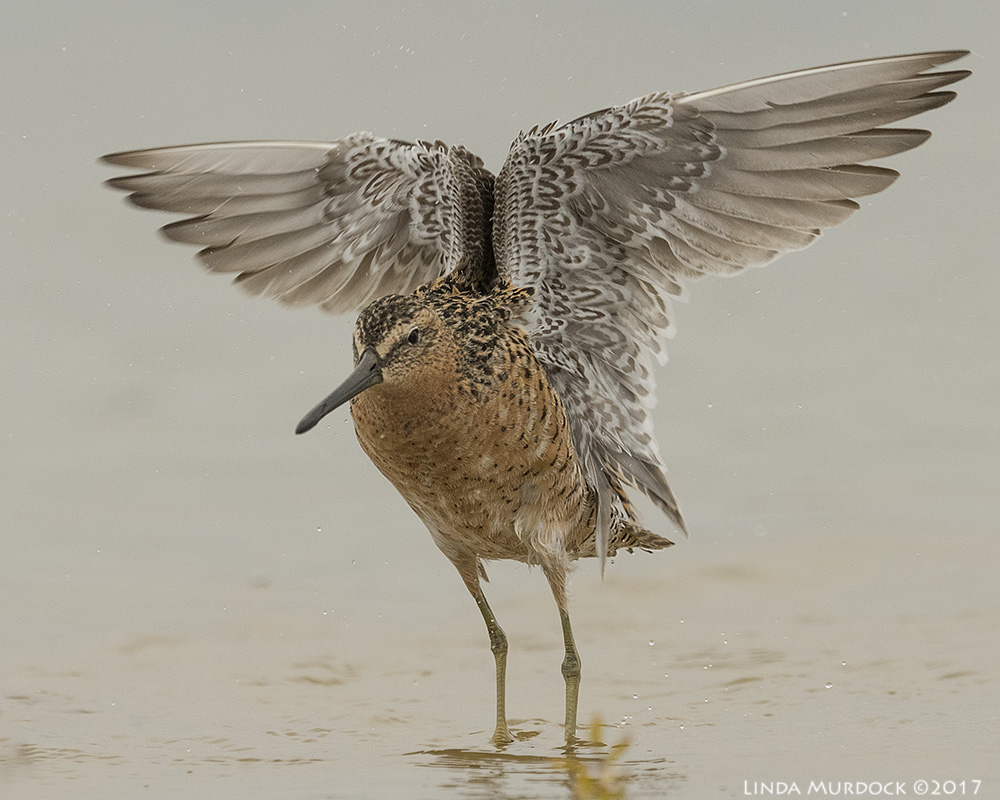 Short-billed Dowitcher showing you his pretty under wings Nikon D810 with NIKKOR 500mm f/4E VR + Nikon 1.4x TC ~ 1/2500 sec f/7.1 ISO 1000; tripod