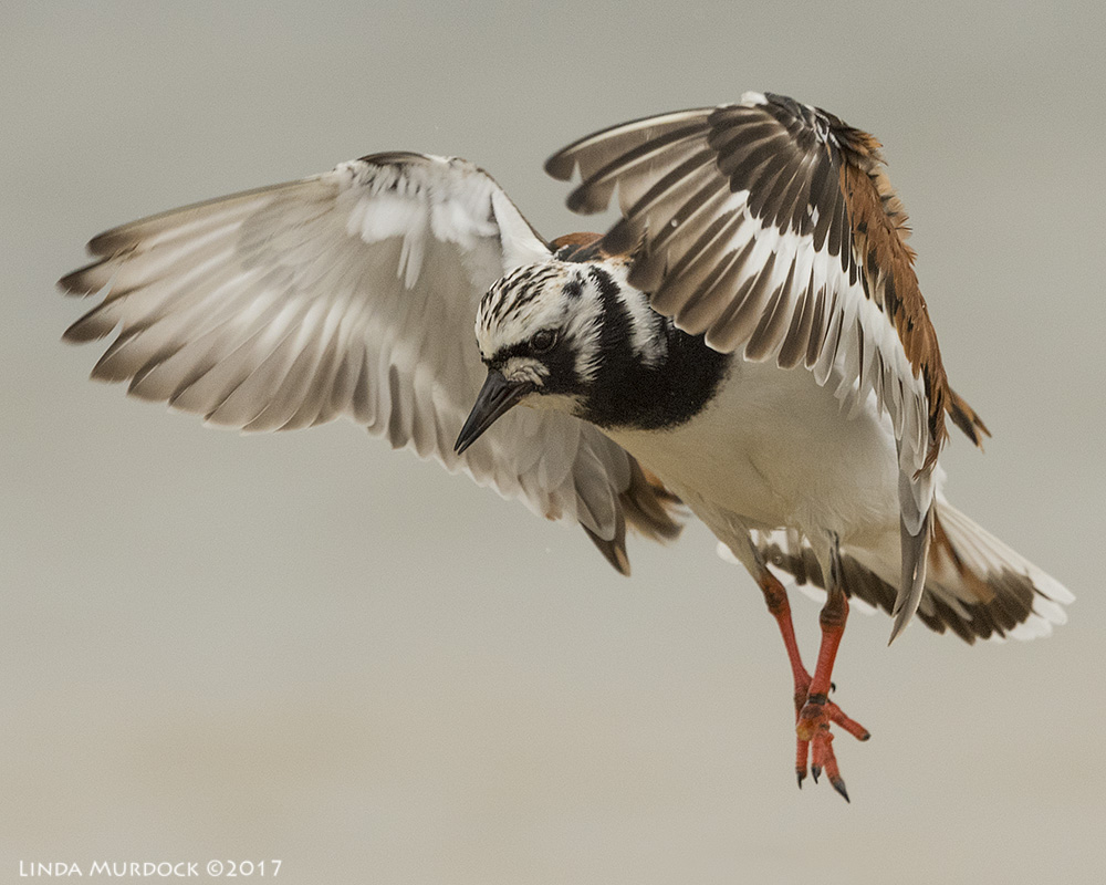 Ruddy Turnstone doing his imitation of an angel Nikon D810 with NIKKOR 500mm f/4E VR + Nikon 1.4x TC ~ 1/2500 sec f/7.1 ISO 1000; tripod