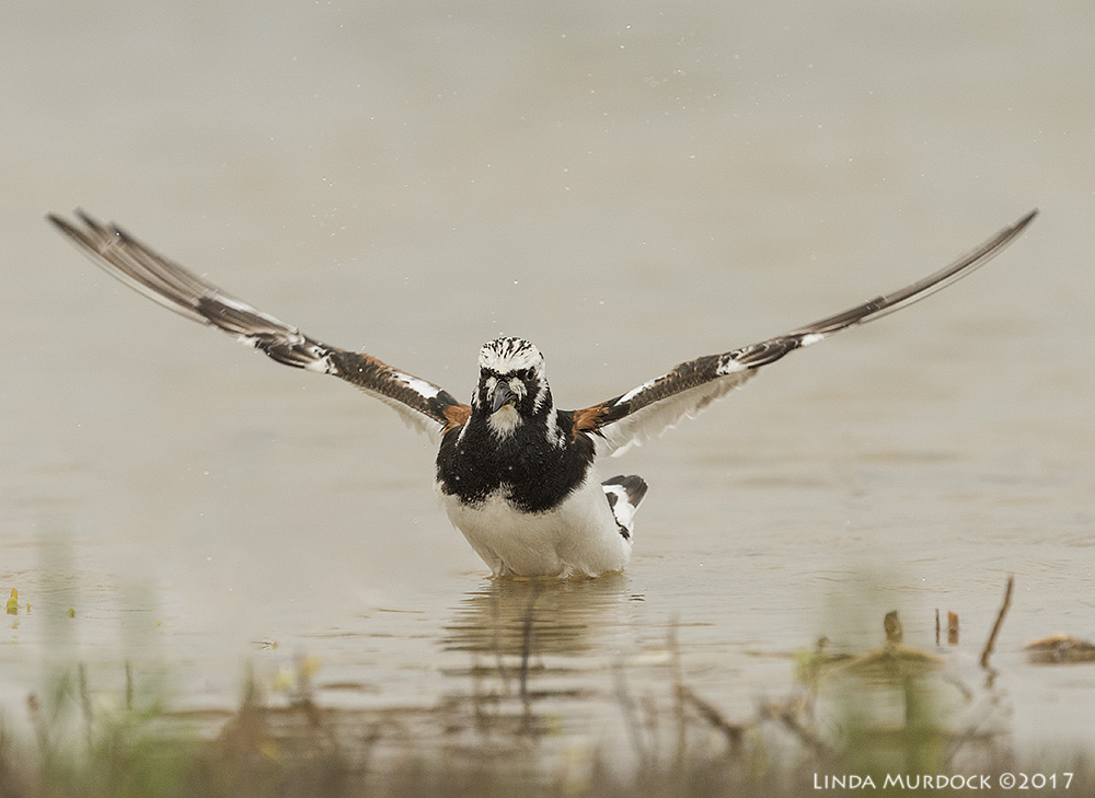 Ruddy Turnstone getting ready to fling himself in the air Nikon D810 with NIKKOR 500mm f/4E VR + Nikon 1.4x TC ~ 1/2500 sec f/7.1 ISO 1000; tripod