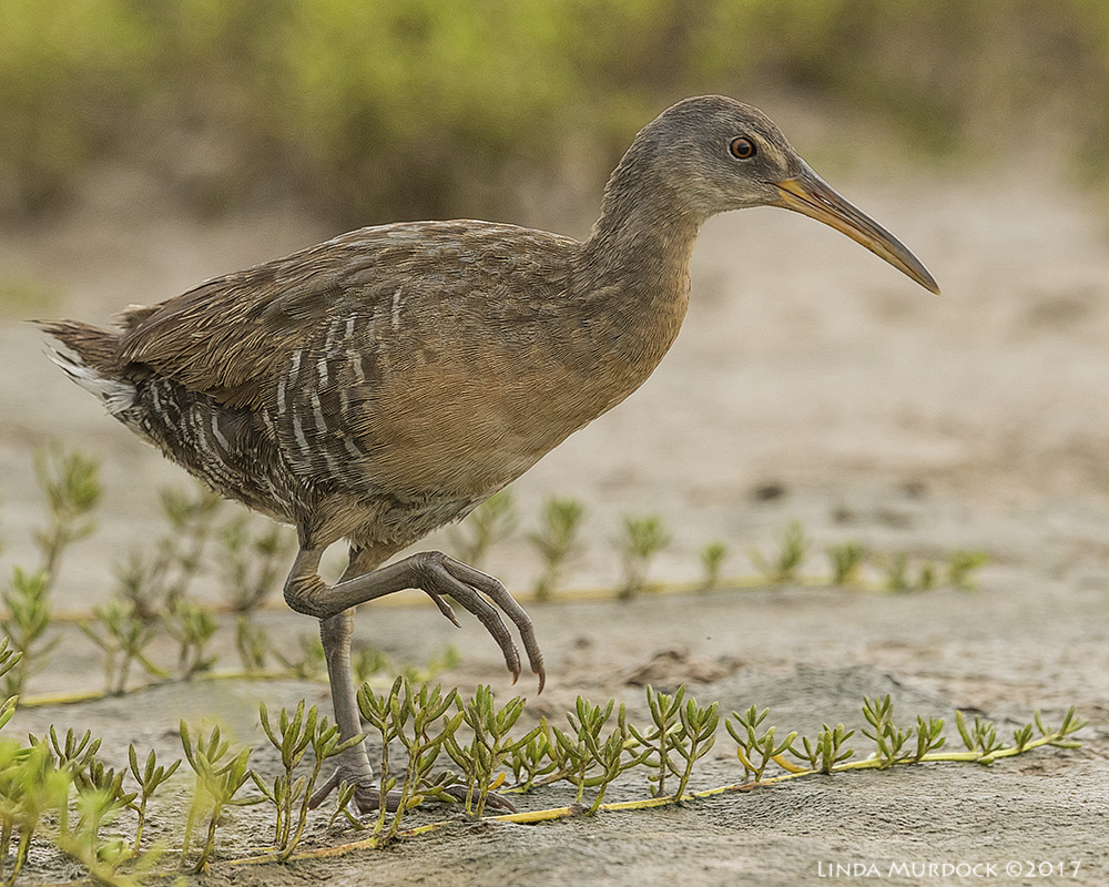 Clapper Rail Nikon D810 with NIKKOR 500mm f/4E VR~ 1/1600   sec f/7.1 ISO 1250; tripod