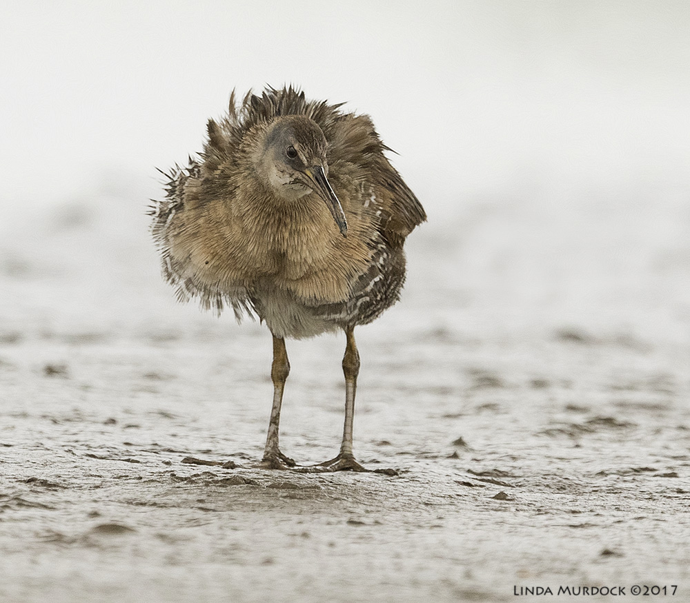 Muddy Clapper Rail Nikon D810 with NIKKOR 500mm f/4E VR + Nikon 1.4x TC ~ 1/2000   sec f/7.1 ISO 2000; tripod