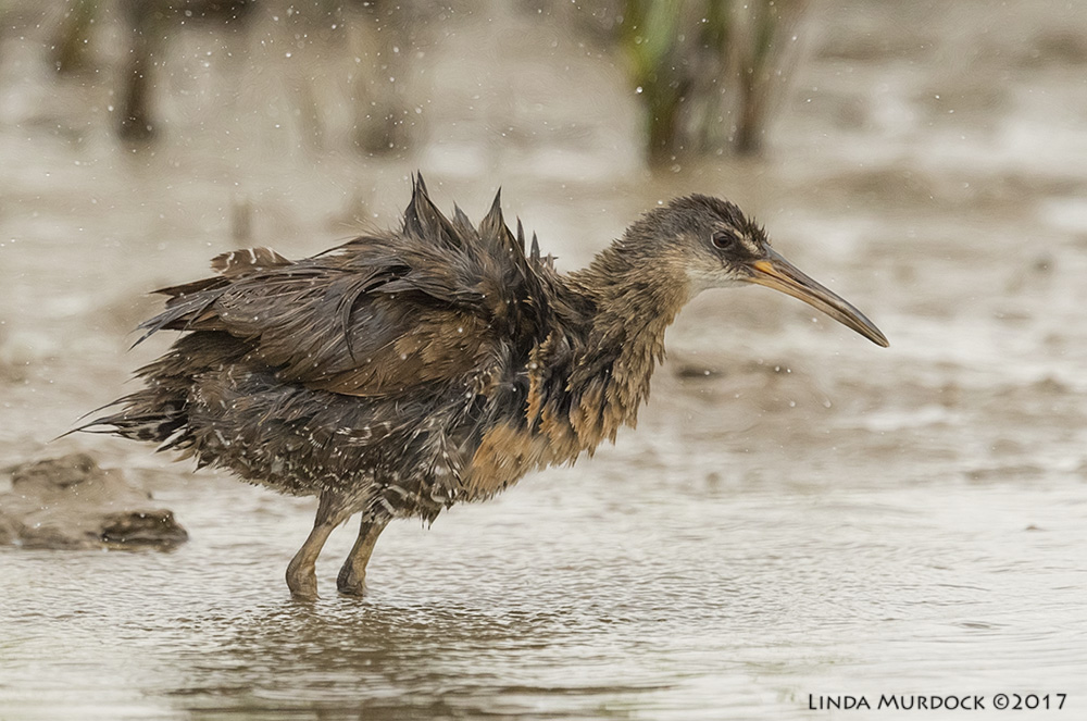After bath Clapper Rail Nikon D810 with NIKKOR 500mm f/4E VR + Nikon 1.4x TC ~ 1/2000   sec f/7.1 ISO 2000; tripod