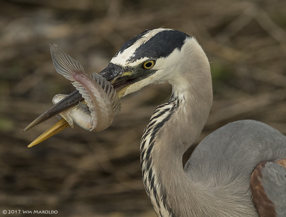 Great Blue Heron with fish ~ photo by Wm Maroldo