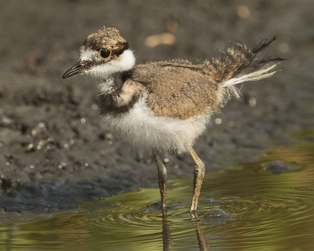 Killdeer chick on his own    Nikon D810 with NIKKOR 500mm f/4E VR~ 1/12000   sec f/8.0 ISO 800; tripod