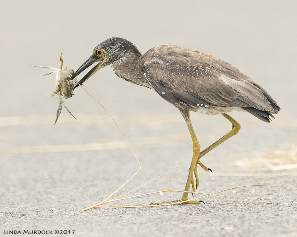 Juvenile Yellow-crowned Night Heron with GIGANTIC crab Nikon D810 with NIKKOR 500mm f/4E VR~ 1/1600   sec f/7.1 ISO 640; tripod