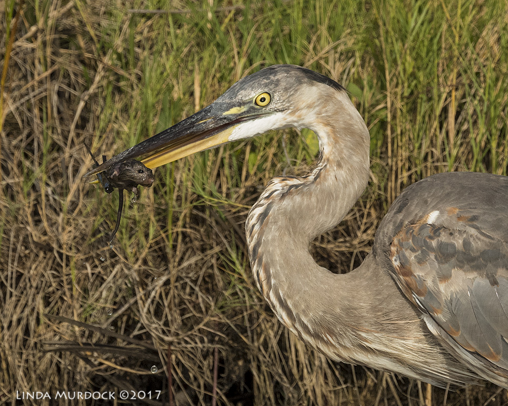 Great Blue Heron with a RAT - click to embiggen Nikon D810 with NIKKOR 500mm f/4E VR~ 1/2500   sec f/7.1 ISO 1000; braced on truck window