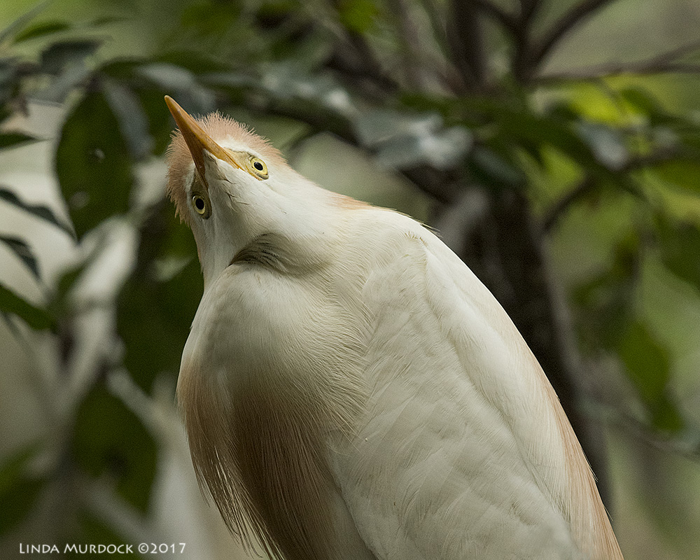 Cattle Egret almost above me    Nikon D810 with NIKKOR 500mm f/4E VR~ 1/1600   sec f/8.0 ISO 2500; tripod