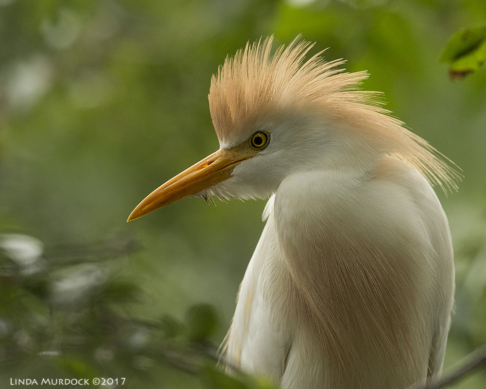 Adult Cattle Egret with nice russet head, but no colorful lores Nikon D810 with NIKKOR 500mm f/4E VR~ 1/1000   sec f/7.1 ISO 1600; tripod