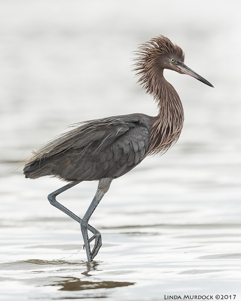Reddish Egret for reference; taken at Surfside Nikon D810 with NIKKOR 500mm f/4E VR + Nikon 1.4x TC ~ 1/2000   sec f/7.1 ISO 800; tripod