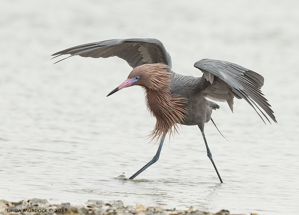 Reddish Egret at Rockport Beach   Nikon D810 with NIKKOR 500mm f/4E VR + Nikon 1.4x TC ~ 1/2000   sec f/6.3 ISO 1250; braced on back of truck bed and bean bag