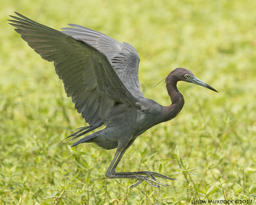 Little Blue Heron airborne Nikon D810 with NIKKOR 500mm f/4E VR + Nikon 1.4x TC ~ 1/1600   sec f/8.0 ISO 800; tripod