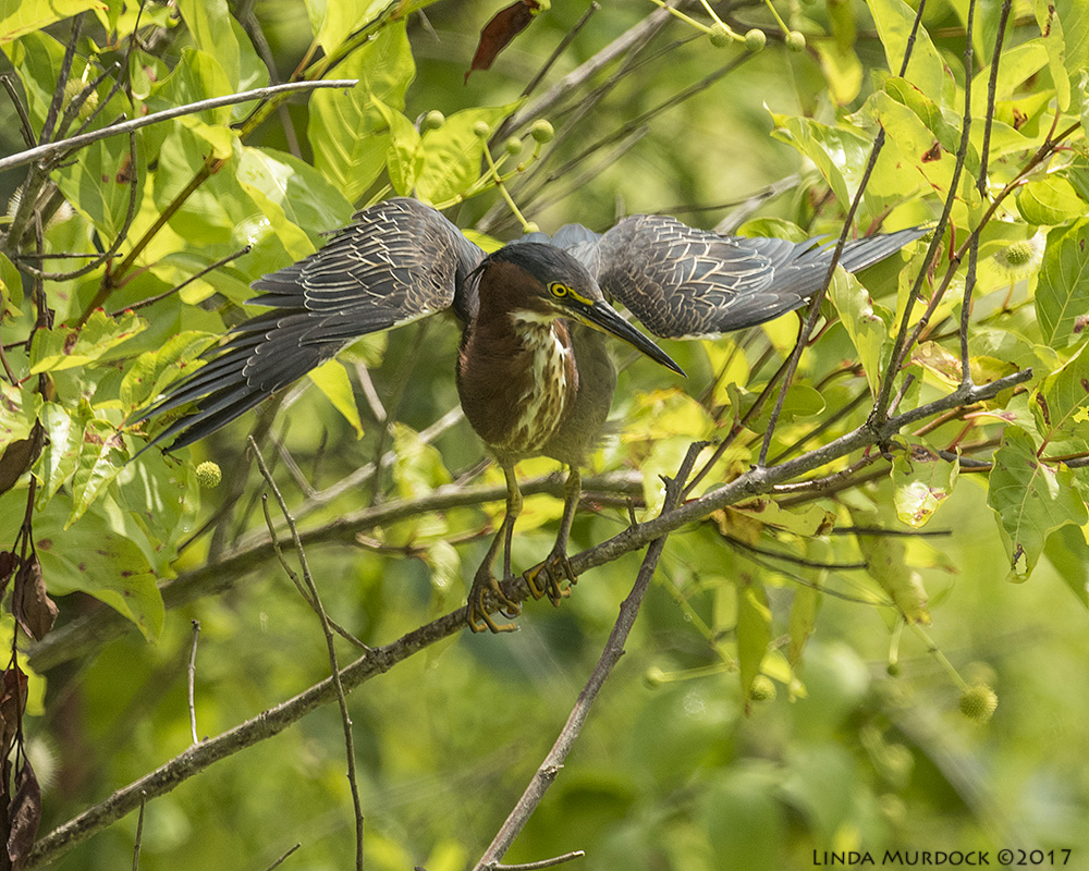 Green Heron out of the hot sun Nikon D810 with NIKKOR 500mm f/4E VR + Nikon 1.4x TC ~ 1/2000   sec f/7.1 ISO 800; tripod
