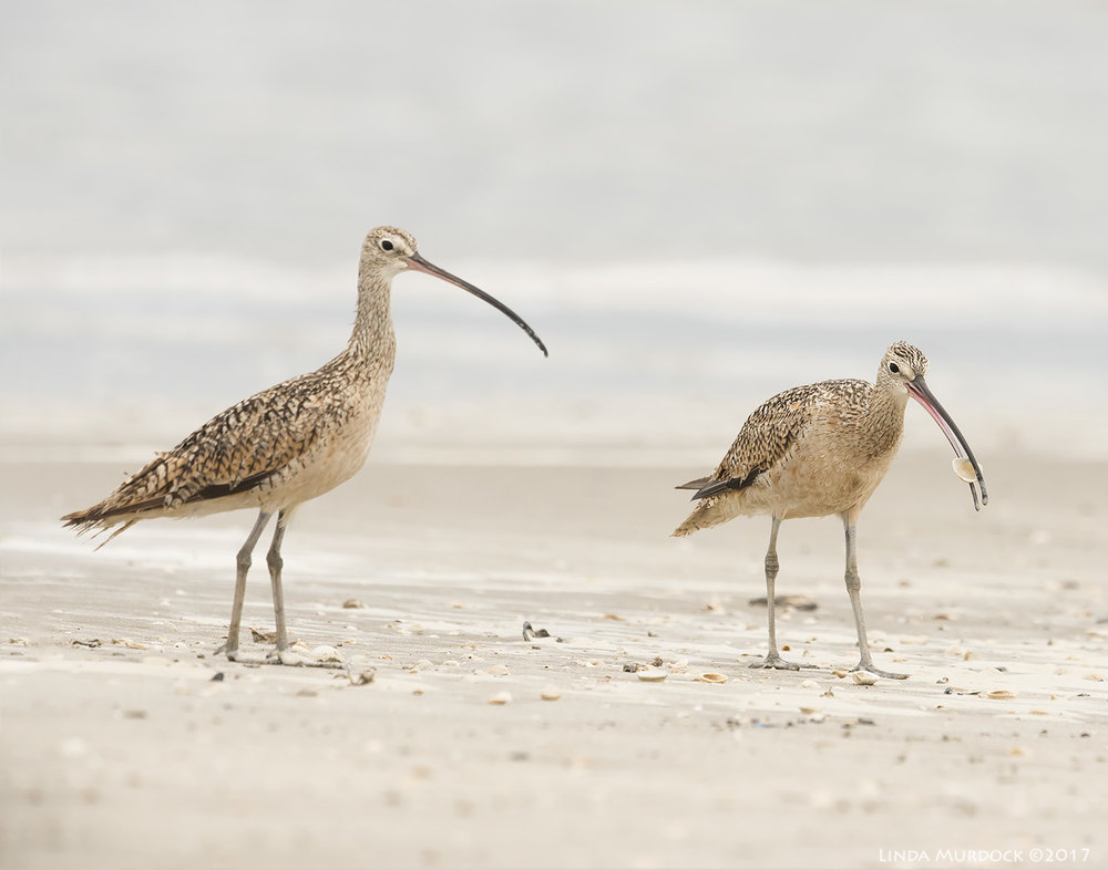 Curlew picking up shell    Nikon D810 with NIKKOR 500mm f/4E VR + Nikon 1.4x TC ~ 1/2000   sec f/8.0 ISO 1250; tripod