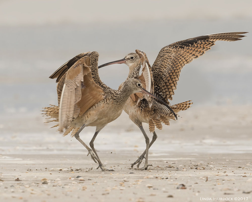 Curlews ... dancing?    Nikon D810 with NIKKOR 500mm f/4E VR + Nikon 1.4x TC ~ 1/2000   sec f/10.0 ISO 1250; tripod