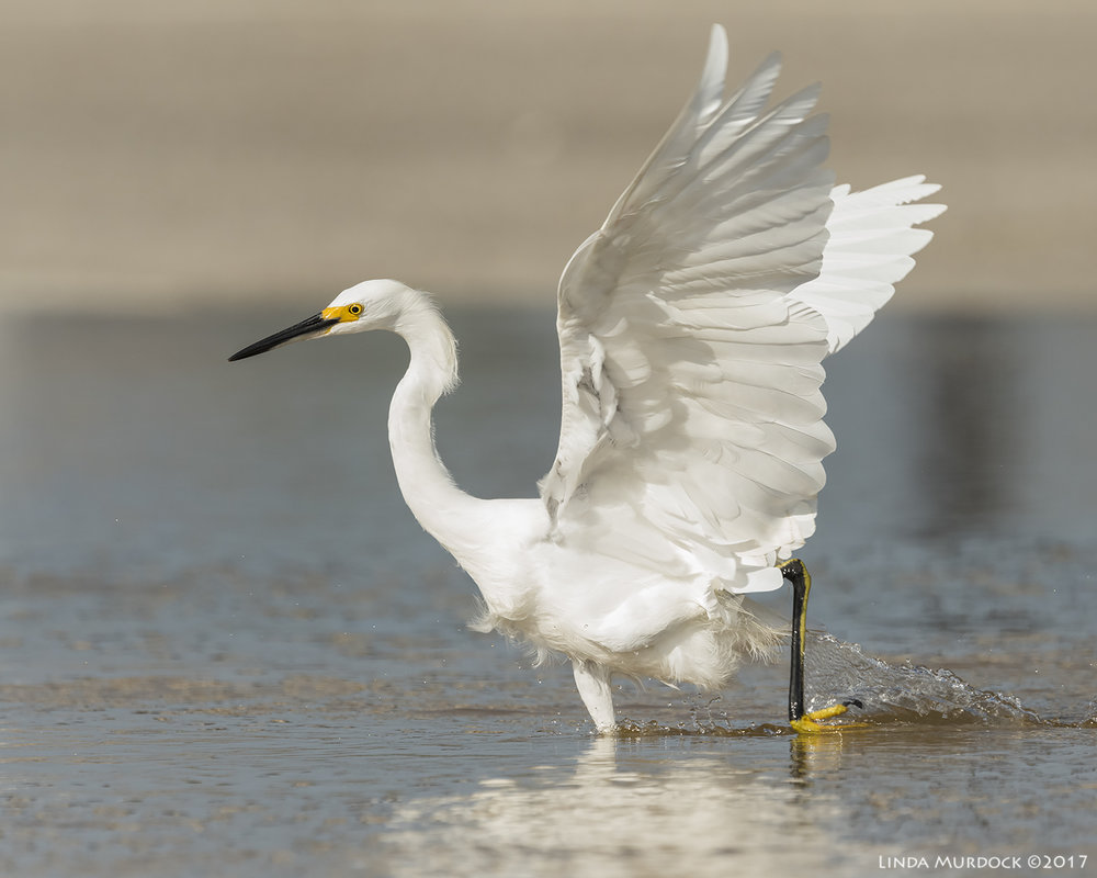 Young Snowy Egret - note the yellow stripe on the back of the leg    Nikon D810 with NIKKOR 500mm f/4E VR + Nikon 1.4x TC ~ 1/2500   sec f/8.0 ISO 1000; tripod
