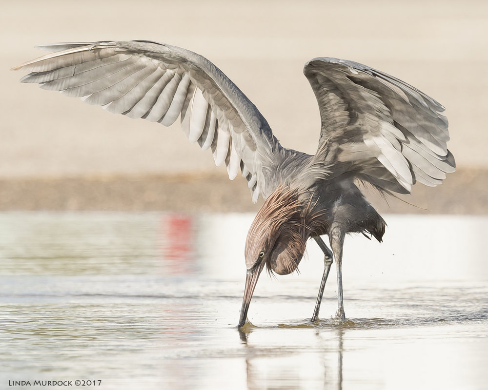 Adult Reddish Egret   Nikon D810 with NIKKOR 500mm f/4E VR + Nikon 1.4x TC ~ 1/2500   sec f/8.0 ISO 1250; tripod