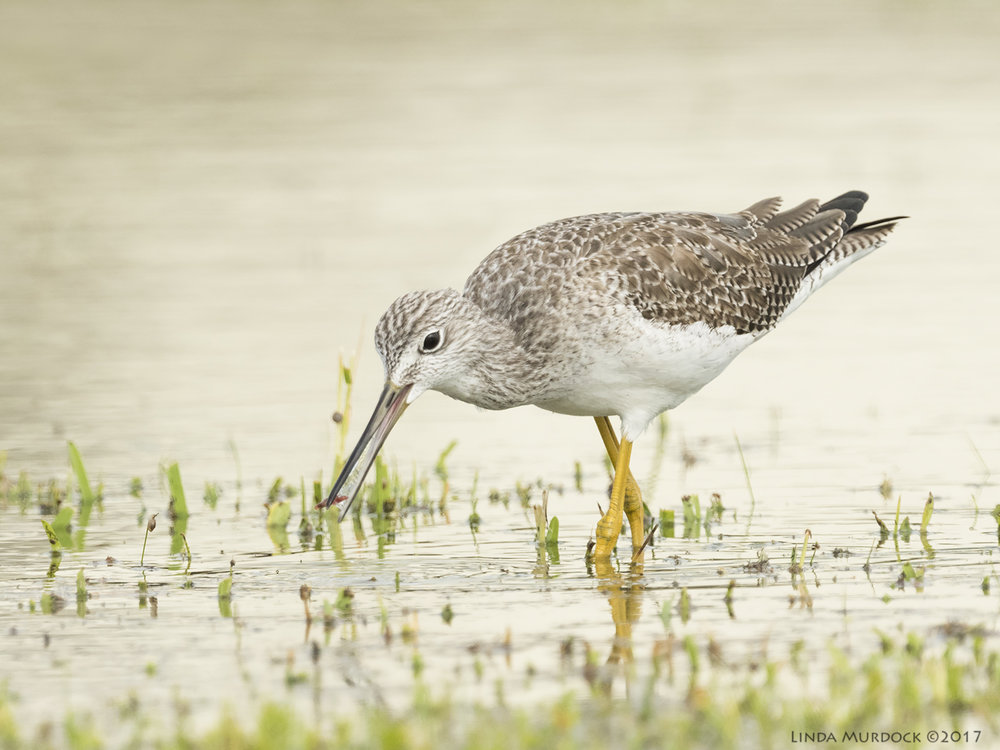 Greater Yellowlegs with tiny red worm  Nikon D810 with NIKKOR 500mm f/4E VR + Nikon 1.4x TC ~ 1/2000 sec f/7.1 ISO 1000; tripod