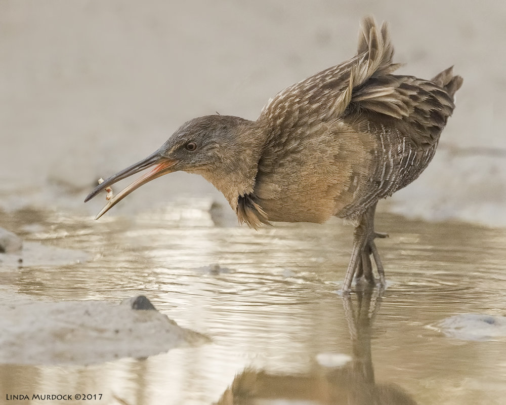Clapper Rail with a crab claw    Nikon D810 with NIKKOR 500mm f/4E VR + Nikon 1.4x TC ~ 1/1600   sec f/8.0 ISO 5000; tripod